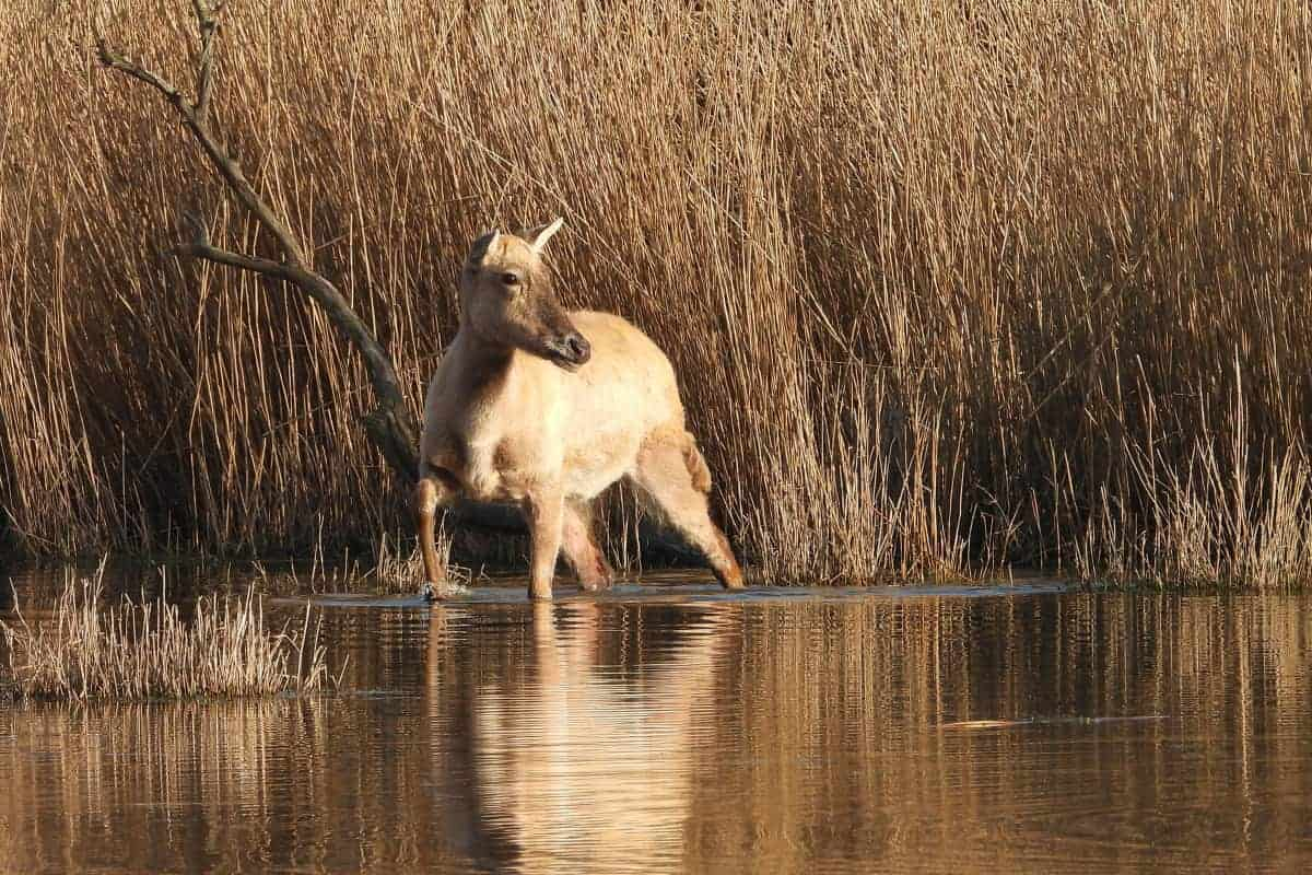 Chinese Deer – on Golden Pond