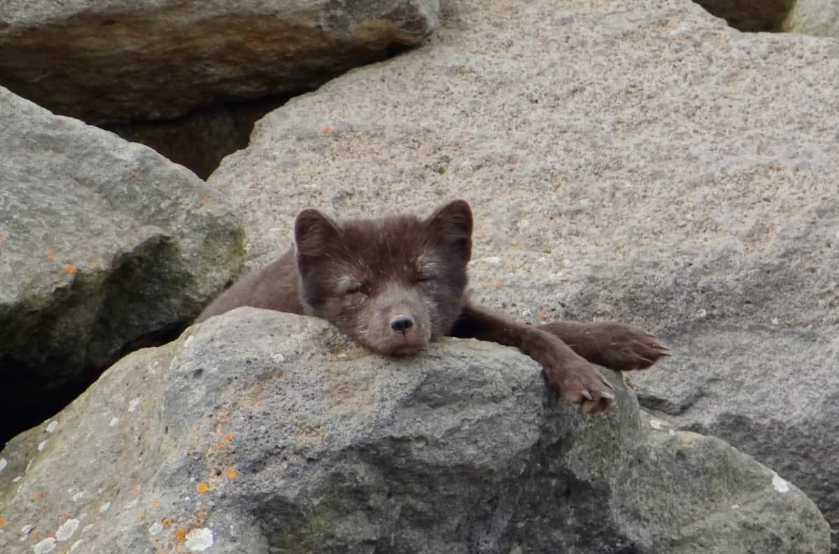 'm Trying to Sleep (Arctic Fox) by Anna Leggatt