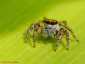 Jumping Spider (Size of a Grain of Rice)