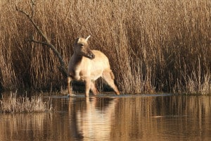 Chinese Deer - on Golden Pond