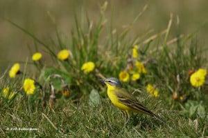 Motacilla Flava - Western Yellow Wagtail