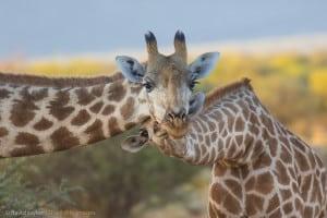 Giraffe and Youngen