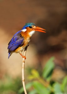 Malachite Kingfisher Enjoys a Snack