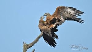 Blac Kite Mating