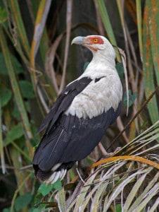 Palm-nut Vulture Linked to Raffia Palms