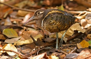 Male Painted Snipe Among Withered Leaves