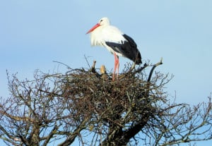 Nesting Great White Stork