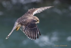 Kestrel Hunting