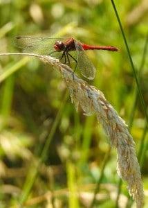 Resting Red Dart