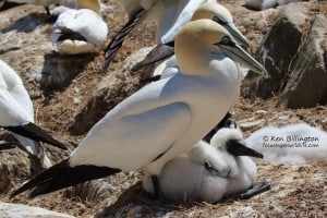 Happy Family - Northern Gannets