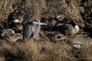 Great Blue Heron & Cronies