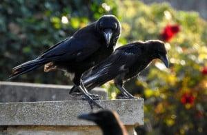 Raven Family
