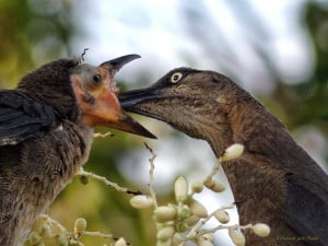 Great Tailed Grackle Mama & Baby