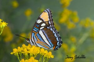 Arizona Sister Butterfly
