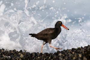 Black Oystercatcher Escapes the Surf!