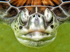 Face to Face - Giant Sea-turtle