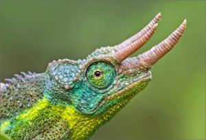 Jackson's Three-horned Chameleon