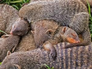 Banded Mongeese Sleeping