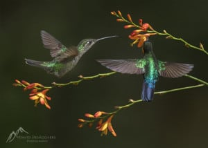 Fiery Throated & Rivoli's Hummingbird