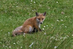 All Alone - Red Fox Cub