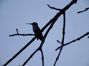 Ruby-throated Hummingbird at Dusk