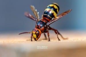 Hornet King 3