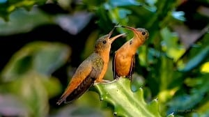 Time to Eat - Cinnamon Hummingbird