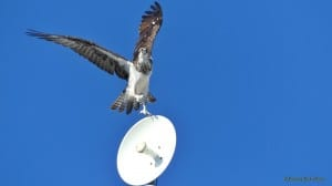 Dancing to the Music - Yucatan Osprey