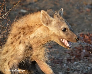 Laughing Hyaena