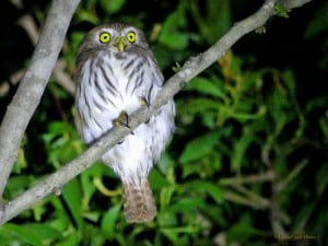 What Are You Doing Here, So Late at Night? Pygmy-Owl