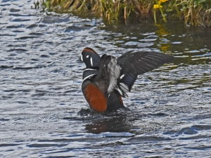 Carolin Duck