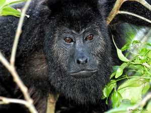 Yap, Getting Old is Inevitable - Howler Monkey