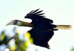 Blyths Hornbill Flying