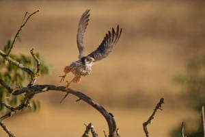 Eurasian Hobby Flies Off
