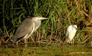 The Heron & the Egret