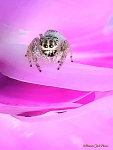 OMG - Am I in Heaven? Jumping Spider