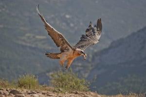 Bearded Vulture Flies Off