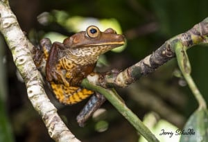 Map Treefrog - Hyla Geographica