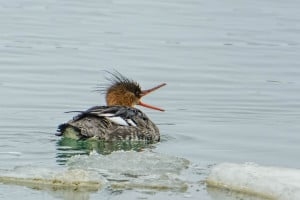 1st  Yr Male Red-breasted Merganser