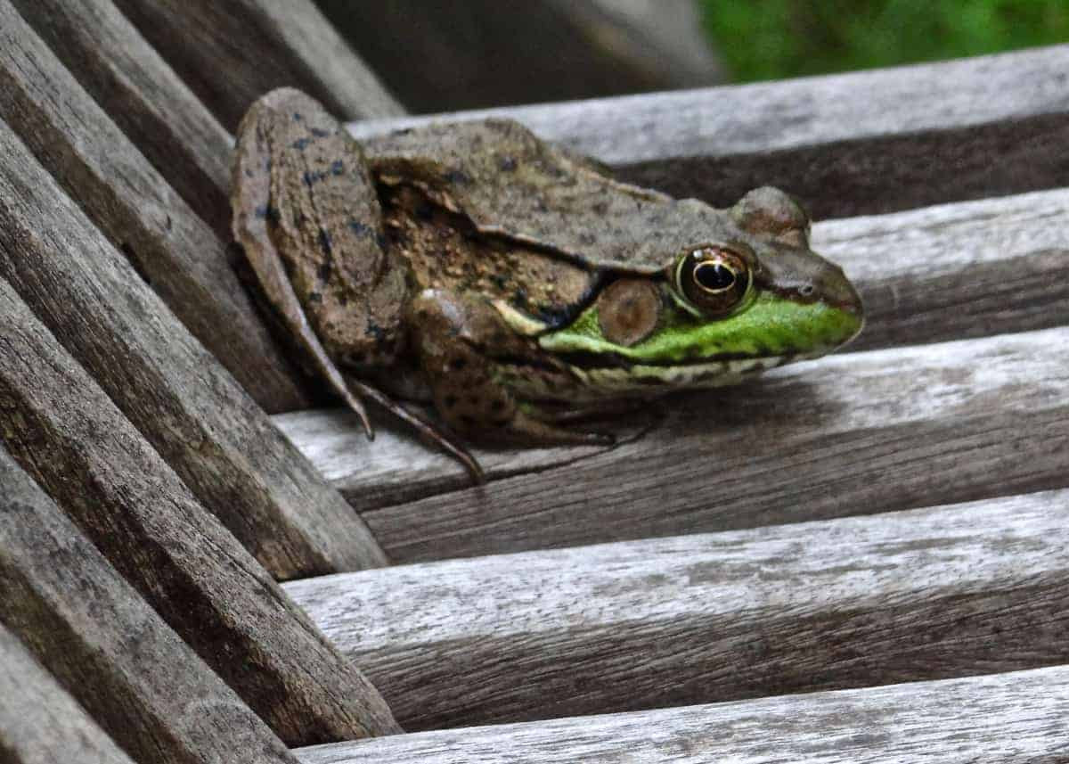 I Got Here First (Green Frog)