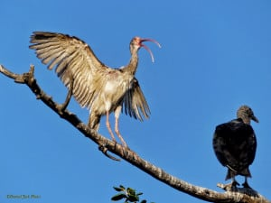 """Get Off My Branch!"" – Ibis to Vulture"