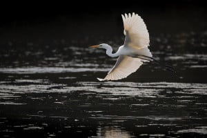 Great Egret Flies up in Backlight