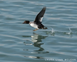 Goldeneye on the Move