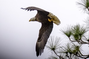 Bald Eagle Flying Out of Nest