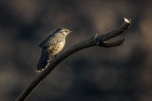 A Cactus Wren Morning