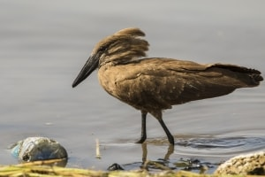 Hamerkop and Plastic Bottle