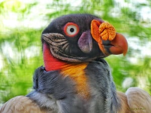 Nature's Fine Art - King Vulture