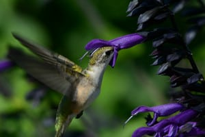 Hovering Ruby-throated Hummingbird
