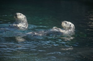 Swimming Southern Sea Otters