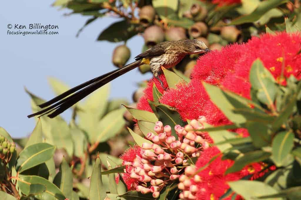Cape Sugarbird Promerops Cafer